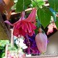 fuchsia Peppermint Candy #fuchsia #fuksje #kwiaty