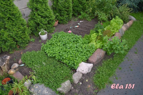 Zobacz Wątek Ela151 Ogródek Warzywny Eli Czyli Nie Tylko