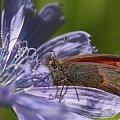 Pyłek z cykorii jeży włos na głowie:) #makro #motyl #lato #owady