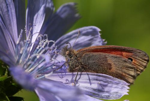 Pyłek z cykorii...