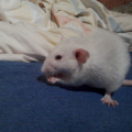 Izma #szczur #szczury
