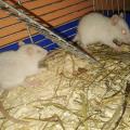 Vinci i Vegas #szczur #szczury