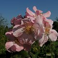 Clair Matin #róże