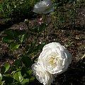 Artemis #róże