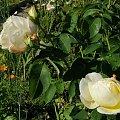 Chopin #róże