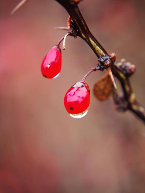 #berberys #jesień #krzewy #natura #przyroda #rosa