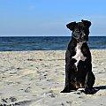nad morzem #amstaff #szczeniak #zwierzęta