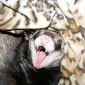 hamaczydło ;p = spaaaaaaaać ! #Aki #fretka #hamak #kocyk #kocyki #Stfforek