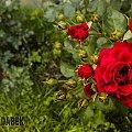 Róże z pod mojego okna #drzewa #góry #liście #łąki #morza #natura #natury #przyroda #rzeki #urok #zieleń #zwierzęta
