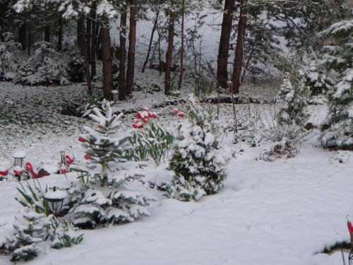 tulipany w śniegu #ZarazWiosna