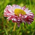 #kwiaty #ogród #stokrotki