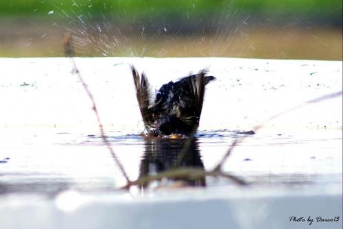 Kąpiący się szpak:)