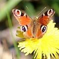motyl #kwiat #makro #motyl #owad #przyroda #wiosna