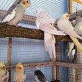 Wystawa w Starym polu 21.06.2015 #kanarki #papugi #ptaki